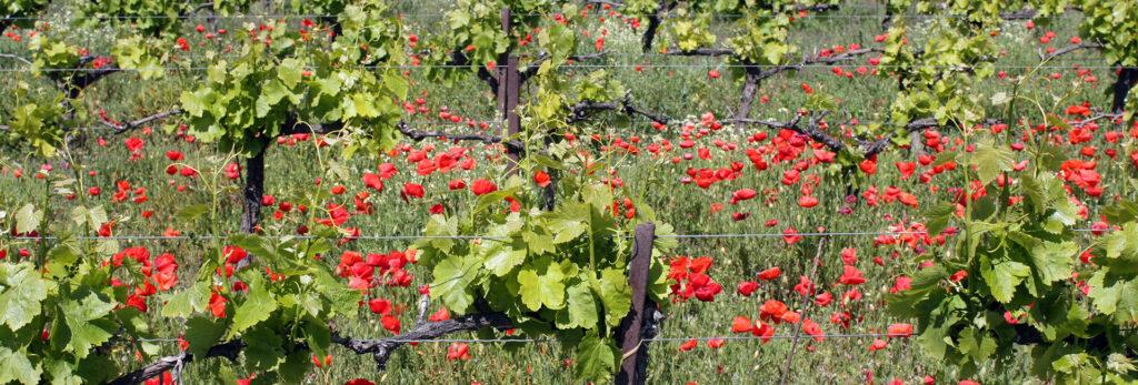 vigne_biodynamie